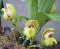 Orchid-Cotacachi, Papallacta, Atahualpa