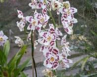 orchid_Cotacachi, Papallacta, Atahualpa