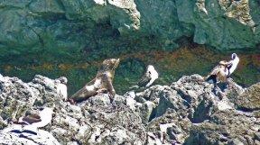 Akaroa New Zealand - Fur seal pup and shags on rocky shore in Akaroa Harbour