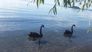 Black swans on Lake Taupo