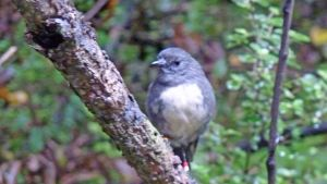 South Island robin found during tour of Ulva Island with Ruggedy Range Wilderness Experience