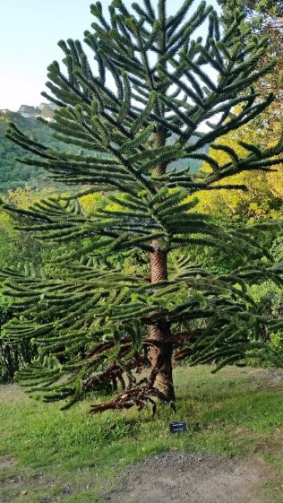 Monkey Puzzle tree at Wellington Botanical Gardens
