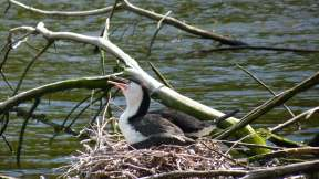Pied Shag Cormorant nesting at Zealandia in Wellington