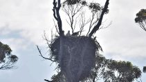 White-bellied sea eagles in nest, photo credit to Wineglass Bay Cruises