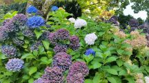 Tupare garden in New Plymouth - huge hydrangea blossoms