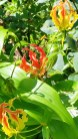 Tupare garden in New Plymouth - Gloriosa lilly