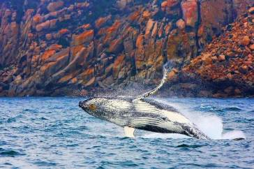 Whale breaching, photo credit to Wineglass Bay Cruises