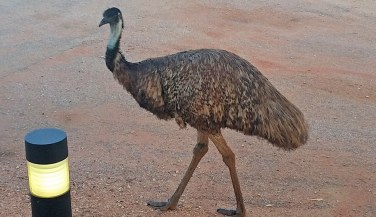 Exmouth campground, an emu patrols the grounds