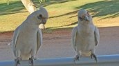 Exmouth campground, curious Corellas