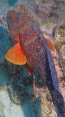 Leopard coral trout red snapper