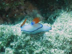 Nudibranch near Muiron Islands + Ningaloo Reef