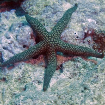Muiron Ningaloo Reef starfish