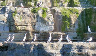 Tasman Island's shags