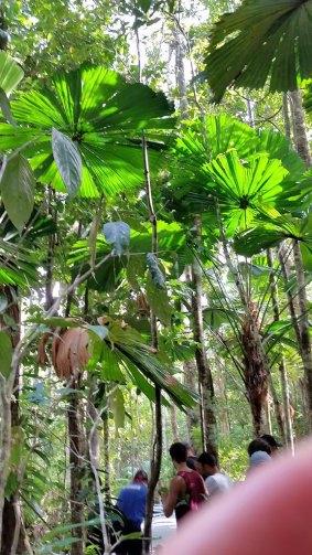 Fan Palms in Mossman Gorge