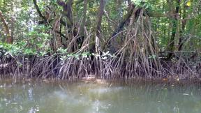Daintree River Mangrove roots