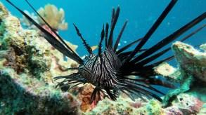 Lionfish image credit Sola Hayakawa