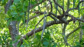 Mangrove seed pods