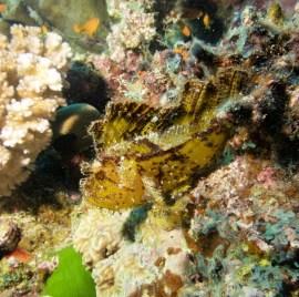 Yellow Leaf Scorpionfish, image credit Sola Hayakawa
