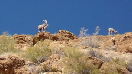 Bighorn sheep on mountaintop, Canyon Lake