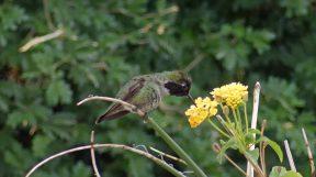 Hummingbird at Lake Havasu