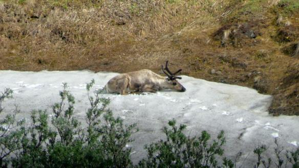 Caribou cooling off on a snow patch