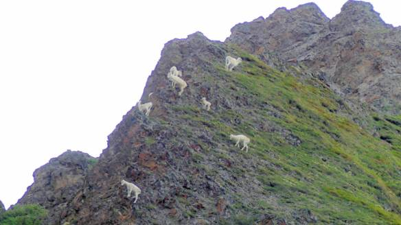 Mountain goats up on the mountainside