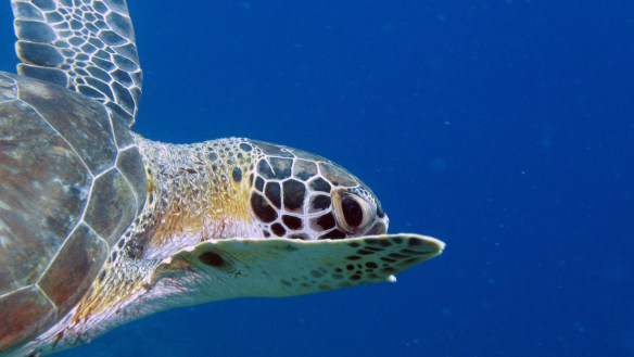 Hawksbill turtle see while scuba diving at Blue Bay Curacao