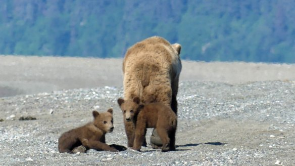 Wilderness Bear-Viewing-Tour-in-Alaska-National-Park