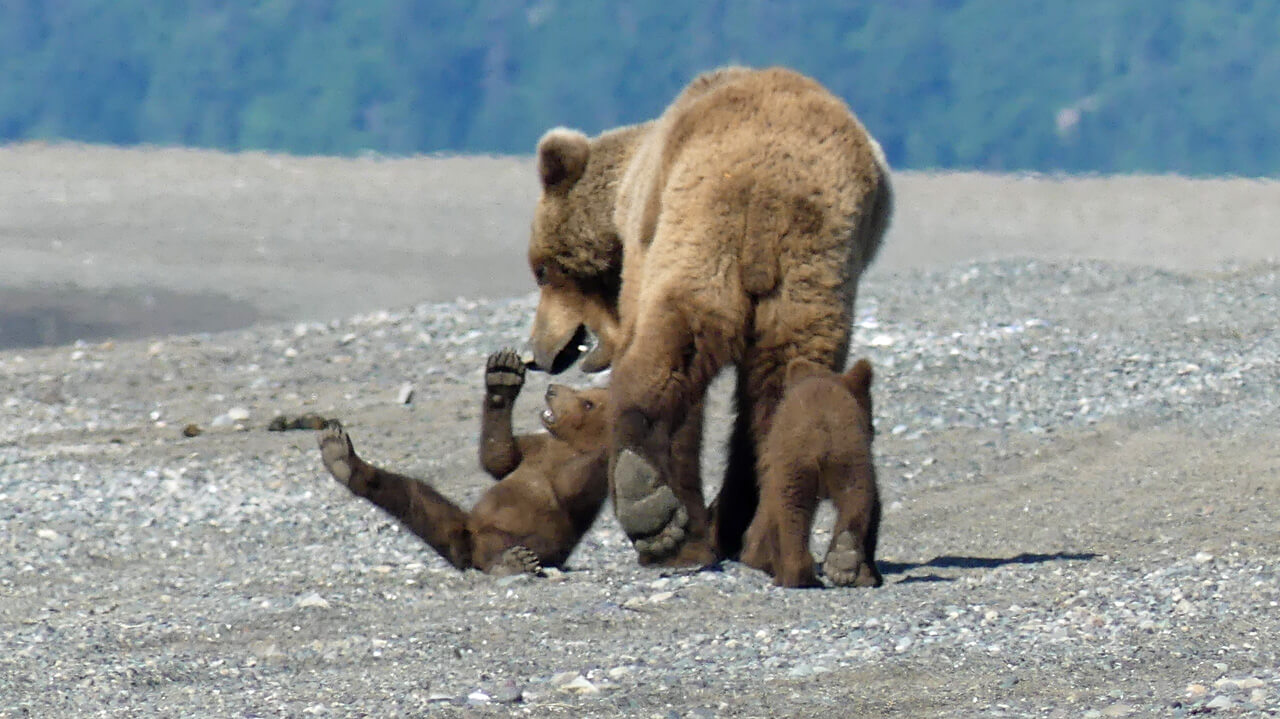 Wilderness Bear Viewing and Flightseeing Tour in Alaska National Park