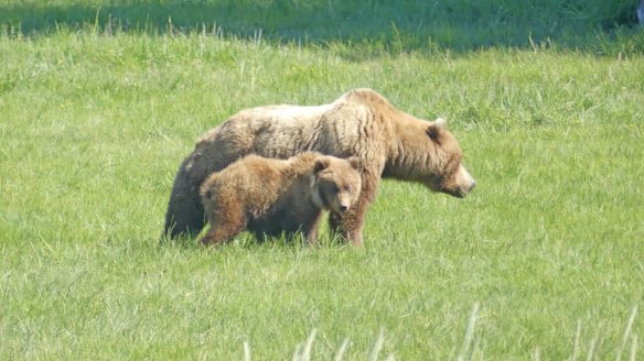 Sow and older cub when bearviewing at Lake Clark National Park in Alaska