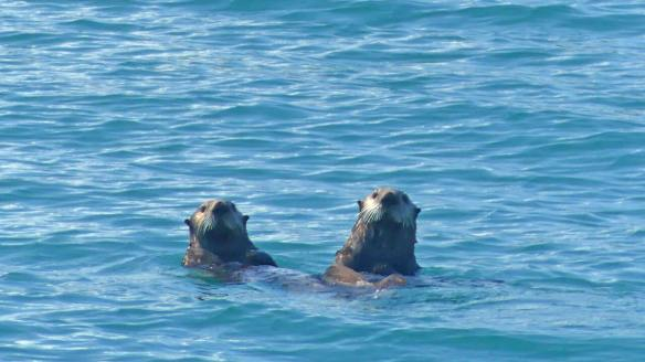 Two-curious-sea-otters-watch-as-we-pass-to-fishing-destination
