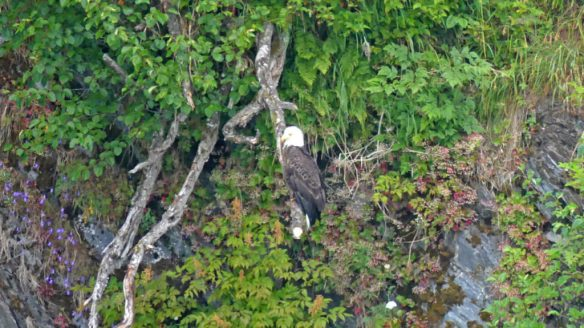 Bald Eagle perched near the water