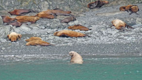 Steller sea lions resting at a haul-out