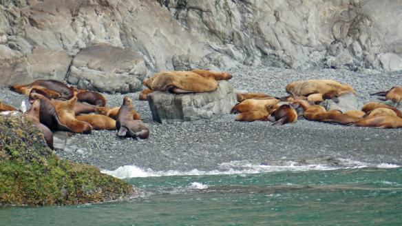 Steller sea lions resting at a haul-out in Prince WIlliam Sound