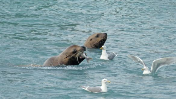 Steller sea lions feast on salmon near the hatchery outside of Valdez Alaska