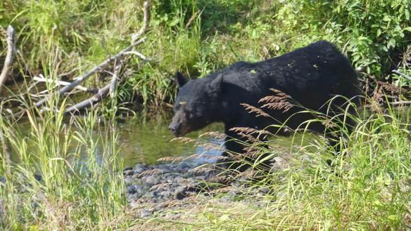 Black bear by creek