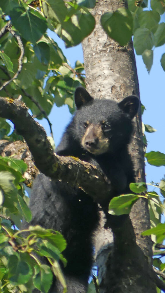 Bear cub peers from safety in tree at Mendenhall Glacier viewing area