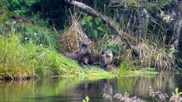 River otters at Mendenhall glacier lake