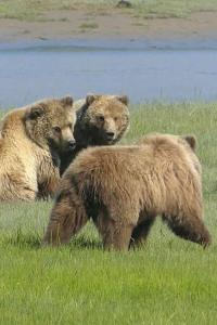 Juvenile bears cautiously watch as an unfamiliar bear walks by.