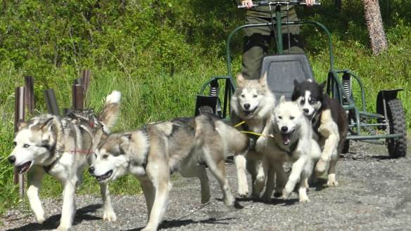 Alaska Dog Mushing Encounter - Denali