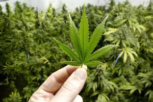 hand holding marijuana plant