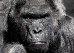 смешной закон о гориле