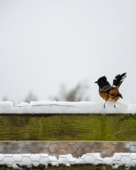 Spotted Towhee (on alert)