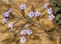 Το αμάραντο Limonium graecum.