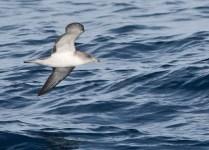 Ένας αρτέμης πετάει με χάρη πάνω από τη θάλασσα.