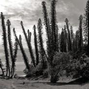 new-caledonia-pines