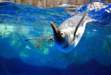 tarlton-gentoo-penguin2 copy