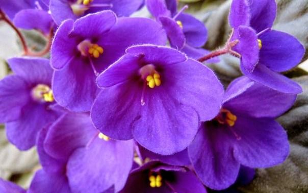 234953__purple-african-violets_p