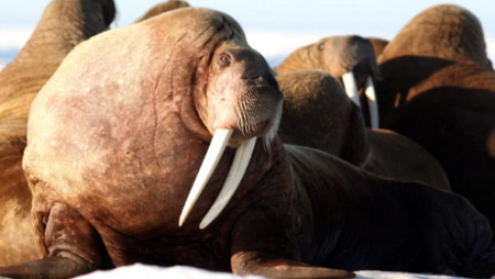 Walrus on beach.