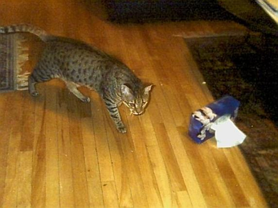 Bengal cat sneaking up on a tissue box on the floor.